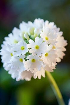 Flowers of Butchart Gardens Primula what a beauty. The petals are little hearts The post Flowers of Butchart Gardens appeared first on Diy Flowers. Exotic Flowers, Amazing Flowers, Pretty Flowers, White Flowers, Diy Flowers, Yellow Roses, Purple Flowers, Pink Roses, Wedding Flowers