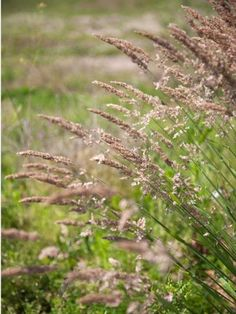 Managing Velvetgrass Weeds – Common Velvetgrass Identification And Control Perennial Grasses, Perennials, Tree Seedlings, Weeds In Lawn, Weed Control, Irrigation, Native Plants, Articles, Gardening
