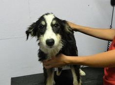 Clarisse is an adoptable Border Collie searching for a forever family near…
