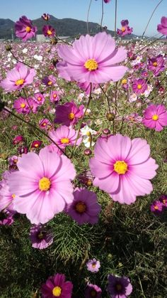cosmos! My absolute favorite flower! And easy to grow from seed!