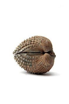 Prickly Cockle Shell