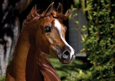 Eden C - 2006 Purebred Arabian Stallion (Enzo x Silken Sable) Photo by April Visel