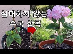 Hydrangea Cuttings . 수국 삽목- 겨울을 난 가지로 같은 해에 꽃피우는 수국 삽목 - YouTube Herb Garden, Orchids, Herbs, Landscape, Flowers, Plants, Gardening, Gardens, Scenery