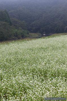 Landscape in Buckwheat flower