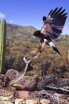Harris hawk and rattlesnake doin their thing .the dance Nature Animals, Animals And Pets, Funny Animals, Cute Animals, Aigle Animal, Especie Animal, Eagle Pictures, Animal Pictures, Beautiful Birds