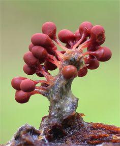 Minuta slime mold My dream Alien Plants, Weird Plants, Mushroom Art, Mushroom Fungi, Mushroom Lights, Wild Mushrooms, Stuffed Mushrooms, Foto Nature, Mushroom Pictures
