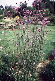 Verveine/Verbena officinalis - traditonal druid herb, promoting relaxation, and used to treat anxiety, colds, fevers and premenstrual tension...