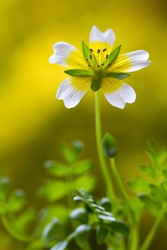 ~~Poached egg by Mandy Disher ~ Limnanthes douglasii~~