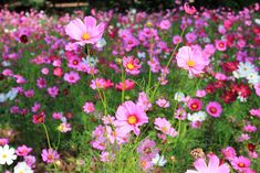 5 redenen om cosmos te zaaien Cosmos is a grateful flower both in your garden and in a cut bouquet. Cosmos, Colorful Flowers, Beautiful Flowers, Tall Flowers, French Country Exterior, Edging Plants, Purple Garden, Backyard Garden Design, Summer Garden