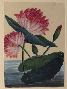 Pink lotus, artist unknown - Trichinopoly, India 1860