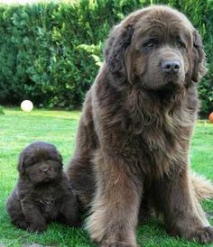 Newfoundlands are great swimmers because of their webbed feet. http://thepoophappens.com