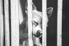 Shelter Chihuahua Begs For A Home In Moving Photos Animal Shelter, Animal Rescue, Rescue Dogs, All Dogs, Dogs And Puppies, Moving Photos, Chihuahua Dogs, Chihuahuas, Pet Life