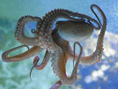 https://flic.kr/p/T5Ae2r   Neue(r) Krake (Octopus)   Nicht mein erstes Foto von einem Kraken, aber ein nach meiner Meinung gut gelungenes. Offensichtlich ein neues Ersatztier im Aquariumsbereich der Wilhelma in Stuttgart.  März 2017