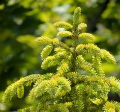 FOCAL POINT: Baby Evergreen tree
