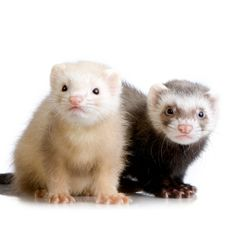 ferrets make my heart happy <3