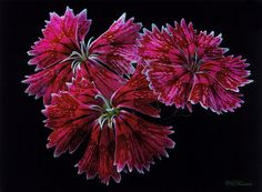 Cravina by ceferreira, via Flickr - this person's flower photography is out of this world <3