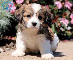 Taffy | Cavachon Puppy For Sale | Keystone Puppies
