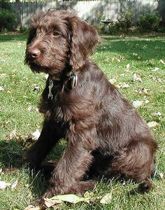 labradoodle, someday...