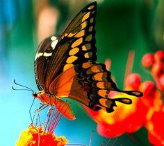 Бабочки. Просто красиво. Обсуждение на LiveInternet - Российский Сервис Онлайн-Дневников