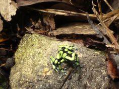 Rana Venenosa de Flecha Verde, mide 4cm fue maravilloso verla y tube muchas ganas de tocarla.