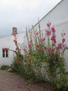 Roses culture and planters on pinterest - Rose tremiere en pot ...