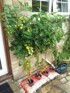 Growing Tomatoes In Pots Here's an inspiring example of vertical gardening. Look how many tomatoes these plants are producing! Planting Vegetables, Growing Vegetables, Growing Tomatoes In Containers, Grow Tomatoes, Vegetable Garden Design, Vegetable Gardening, Edible Garden, Container Gardening, Tomato Plants