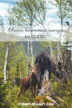 Lac Saint Jean, Quebec, Spots, Voici, Travel, Animals, Fictional Characters, Nature, Articles