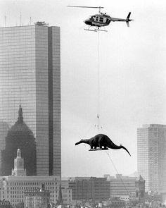 El brontosaurio (réplica) tamaño real que sobrevoló Boston en 1984 con destino al Museo de Ciencias de la ciudad para una exposición. Foto de Arthur Pollock