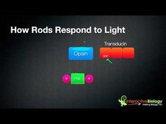 http://www.interactive-biology.com - In this episode, I go through the process of how rods and cones respond to light. I use Rods as an example and show how Rhodopsin, Transducin and Phosphodiesterase are involved in the process. Enjoy