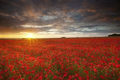 Salisbury Plain Poppy Field - Salisbury Plain, Wiltshire UK