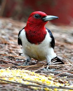 Red-headed Woodpecker | Flickr - Photo Sharing!