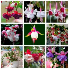 40 Sementes Brinco De Princesa Várias Cores Flor Rosa Bonsai - R$ 14,99 no MercadoLivre