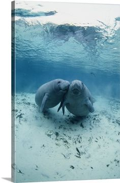Affectionate Manatees float beneath ocean's surface