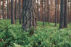Yli 730 000 suomalaista saa tuloa metsistä.Metsätalous tuottaa hyvinvointia laajalle joukolle suomalaisia. Tuloa se tuottaa jopa yli 730 000:lle.Tästä 600 000 on metsänomistajia. Trunks, Plants, Drift Wood, Tree Trunks, Plant, Planets