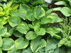 Hosta 'Dust Devil'-The Hosta Cottage