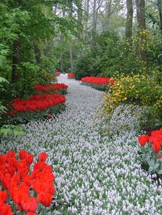 A path of white flowers in the Keukenhof flower garden