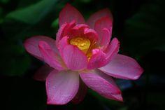 a Lotus by Yasutoshi Yamamoto on 500px
