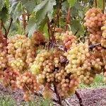 Виноградник | Дача - впрок