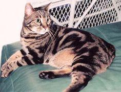 Marbled Tabby Bengal | Bengal Manx Kittens Cats Breeder Manx Bengals Cat Banx Ben Bob ...
