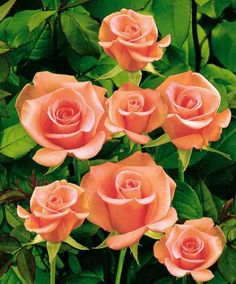 Rosen 'Salmon Beauty' (Rosa) har en mjukt laxrosa färg och håller den här slående färgen genom hela blomningsperioden. Blommorna avger en delikat söt doft.