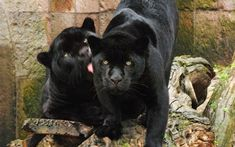 Mexican Drug Lord's House Got Raided Exposing His Secrets Black Panthers, Beautiful Cats, Animals Beautiful, Mexican Drug Lord, Animals And Pets, Cute Animals, Wild Animals, Panther Leopard, Black Jaguar