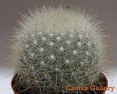 mammillaria senilis Cactus Gallery