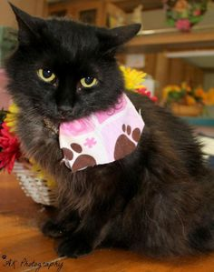 Lena is an adoptable Domestic Long Hair-black searching for a forever family near Lubbock, TX. Use Petfinder to find adoptable pets in your area. Animal Help, Animal Care, Animal Shelter, Animal Rescue, Lubbock Tx, Kitten Photos, Long Haired Cats, Buy Pets, Trust Issues