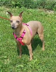 "URGENT! ""SIMONE""....LISBON, OHIO>>>Simone *Partially Sponsored!* is an adoptable Miniature Pinscher Dog in Lisbon, OH. Hi there. My name is simone. I am 5 years old and I weigh about 18 lbs.     I was turned into the pound by my owner...."
