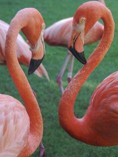 Google Image Result for https://cdn2.gbot.me/photos/P2/6O/1299277608/Two_Flamingos-Rand_Nature_Centre___Baha-20000000001562297-375x500.jpg