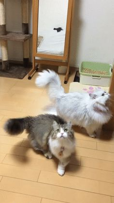 Fluffy cats playing with bubbles on @gfycat #cuteness #pets #animals