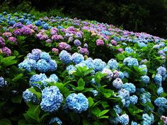 Hydrangea. A lot of people don't like them but I do. I like the variation in colour. Unfortunately they don't grow very well in a dry climate like Calgary's