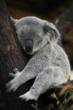Baby Koala Nobody can resist the cuteness of baby animals. They are curious, naive, and sometimes funny, just like our kids. You're a hardened person if you can scroll through these baby animals photos without your heart beating fast. Cute Baby Animals, Animals And Pets, Funny Animals, Exotic Animals, Wild Animals, Wild Pictures, Animal Pictures, Animals Photos, Baby Pictures