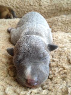 Italian greyhound puppy...what a precious soul!