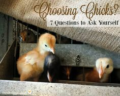 7 Questions to Ask Yourself  Before Choosing Chicks